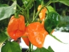 Chili Habanero orange
