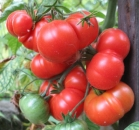Minifleischtomate Red Star